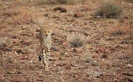 cheetah Fotografering för Bildbyråer