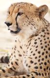 cheetah photographie stock libre de droits