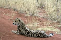 Cheetah. Africat Foundation promoting large carnivore conservation and animal welfare Stock Image
