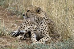 Cheetah. Africat Foundation promoting large carnivore conservation and animal welfare Stock Images
