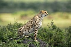 Free Cheetah Stock Images - 1130684
