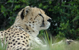Cheetah. Side portrait of cheetah outdoors with leafy green background Royalty Free Stock Photo