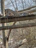 cheetah Stock Foto's