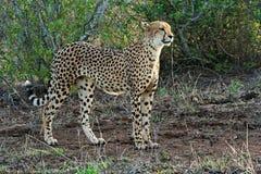 Cheetah. A slender Cheetah on the hunt Royalty Free Stock Photos