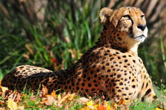 Cheetah. Relaxing in the sun Royalty Free Stock Photography