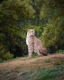 Cheetah. Sitting and looking around Stock Images