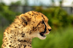 Cheetah. A beautiful profile portrait of this young cheetah royalty free stock image