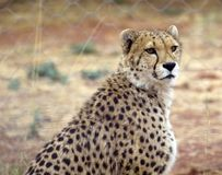 Cheetah. Africat Foundation promoting large carnivore conservation and animal welfare Royalty Free Stock Images