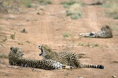 Cheetah. Africat Foundation promoting large carnivore conservation and animal welfare Stock Photo