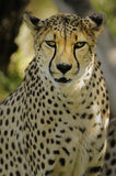 Cheetah. The cheetah thrives in areas with vast expanses of land where prey is abundant Stock Images