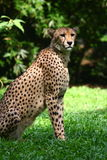 Cheetah. The cheetah (Acinonyx jubatus) is an atypical member of the cat family (Felidae) that is unique in its speed, while lacking climbing abilities Stock Image