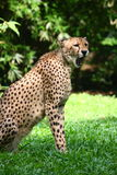 cheetah Royaltyfria Bilder