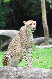 A Cheetah Stock Image