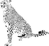 cheetah image stock
