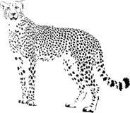 cheetah ilustração do vetor