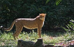 Cheetah. Majestic cheetah standing in wait royalty free stock image