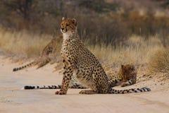 Free Cheetah Stock Images - 1368144