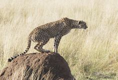 Cheetah. A cheetah on a termite hill looks intently toward a rival cheetah (not shown royalty free stock photos