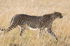 Cheetah. A cheetah is striding across the Mara in southwestern Kenya Royalty Free Stock Photography