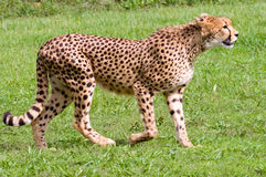 Cheetah. Walking to right of frame Royalty Free Stock Images