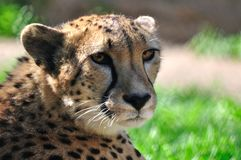 Cheetah. Royalty Free Stock Photos