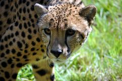 Cheetah. A cheetah assesses the situation Stock Photos