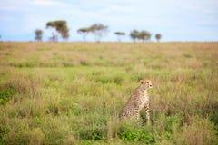 Free Cheetah Royalty Free Stock Photography - 16626707