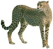 Cheetah Royalty Free Stock Images