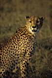 Cheetah. S status as th e fastest land animal Stock Images