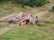 Cheetah. S Fighting over a kill Royalty Free Stock Image