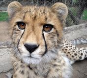 Cheetah. Picture of nine month old cheetah cub royalty free stock photos