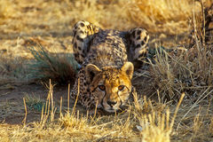 Cheetah. Crouched in the grass waiting for prey stock photography