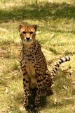 Cheetah. Basking in the sun Stock Images