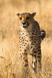 Cheetah. Wild cheetah portrait, Etosha, Namibia stock photography