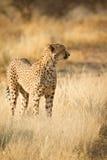 Cheetah. Wild cheetah portrait, Etosha, Namibia stock images