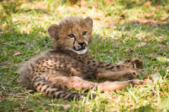 Cheetah. Wild cheetah cub, Etosha, Namibia royalty free stock photography