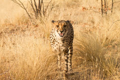 Cheetah. Portrait, safari Etosha, Namibia Africa Royalty Free Stock Photography