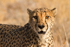 Cheetah. Portrait, safari Etosha, Namibia Africa stock photos