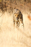 Cheetah. Safari Etosha, Namibia Africa Royalty Free Stock Photos