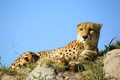 Cheetah. A cheetah is on a hill and observed the environment Royalty Free Stock Photos