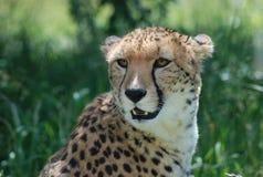 A cheetah Royalty Free Stock Photo