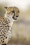 Cheetah. Close-up portrait of Cheetah; Acinonyx jubatus; South Africa stock photo