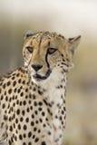 Cheetah. Close-up portrait of Cheetah; Acinonyx jubatus; South Africa stock images