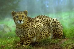 Cheetah. Looking at viewer (Acinonyx jubatus) - landscape orientation Stock Photo