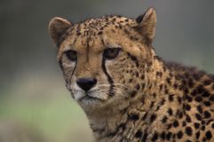 Cheetah. Looking at viewer (Acinonyx jubatus) - landscape orientation Royalty Free Stock Images