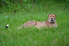 Cheetah. A photo of a resting cheetah Stock Image