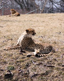 Cheetah. A pair of cheetahs lying in the sun Royalty Free Stock Images