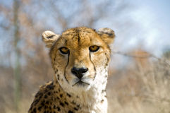 Cheetah. A cheetah  in South Africa in the Kalahari area Royalty Free Stock Photo
