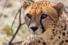 Cheetah 2 Stock Images