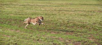 Cheetah 2 Stock Photography